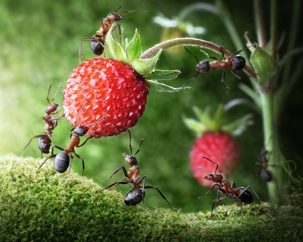 Ant_Team_Strawberry